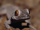 Golden-Tailed Gecko with Huge Red and Black Eyes and Spotted Skin