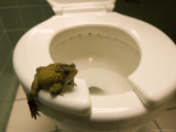 An Eastern American Toad in a Motel Room Bathroom