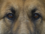 German Shepherd Dog&#39;s Eyes