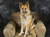 German Shepherd on Leather Chair in the Studio