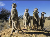 Group of Meerkats Standing Guard