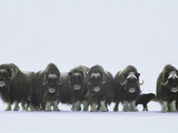 Herd of Musk-Oxen Stand Together During a Snow Storm