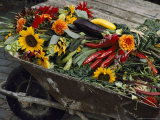 Sunflowers  Dahlias  Eggplants  Pepper and Squash Fill a Wheelbarrow