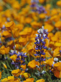 Poppies and Lupine Flowers in a Santa Barbara Field