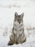 Coyote Sits in the Snow