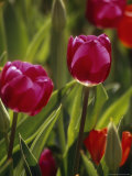 Backlit Red Tulips and Green Foliage