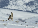 Howling Coyote Atop a Snow-Covered Hill