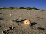 Seashells Litter the Beach at Ocracoke Seashore