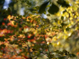 Maple Tree Branch with Green Leaves with Autumn Hued Leaves in Back