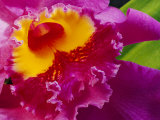 Close View of a Bright Pink Cattleya Orchid