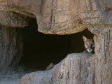Mountain Lion Peeks Out of a Cave Opening