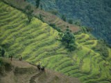 Nepalese Farmers Plowing Terraced Fields with Oxen
