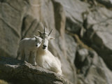 Rocky Mountain Goat and Her Kid on a Rock Ledge
