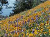 Poppies and Lupine Flowers Blanket a Coastal Field