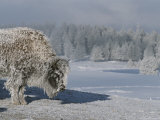 View of an Ice-Encrusted American Bison