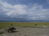 Rhinoceroses Graze in the Crater