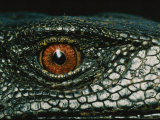 Close View of the Eye of a New Species of Monitor Lizard
