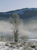 Frost Coats the Branches of a Cottonwood Tree in This Foggy View