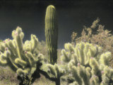 Cholla and Saguaro Cacti Grow Together in an Arizona Desert