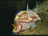 Close View of a Colorful Chromodoris Kuniei Nudibranch