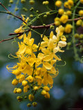 Cluster of Flowers Cascades From a Golden Shower Tree