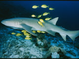 Nurse Shark with Pilot Fish