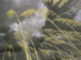 Sea Oats Grow Along a Dune on a South Carolina Barrier Island