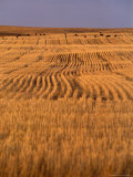 Cattle Graze Rows of Harvested  Dry-Farmed Wheat