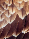 Close Up of the Feathers of a Black Kite