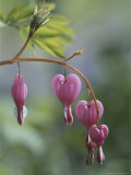 Close View of Bleeding Heart  or Dutchman's Breeches  Flowers
