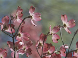 Close View of Pink Dogwood Blossoms