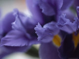 Close Up of Iris Flowers