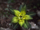 Close View of Euphorbia Himalayensis