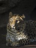 Amur Leopard at the Santa Barbara Zoo