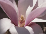 Close View of a Magnolia Blossom