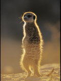 Back-Lit Portrait of a Meerkat in Guarding Posture