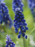 Close View of Grape Hyacinth Flowers