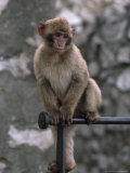 Barbary Ape or Macaque