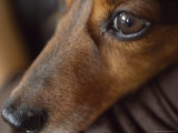 Close Up of the Face of a Dachshund