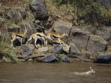 Thomson's Gazelles Walk Along a Rocky River Bank While Another Swims