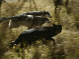 Trio of Gray Wolves  Canis Lupus  Run Through a Woodland Setting