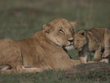Three-Month Old African Lion Cub Affectionately Nuzzles Its Mother