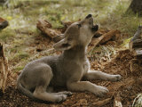 Ten-Week-Old Gray Wolf Pup  Canis Lupus  Howls