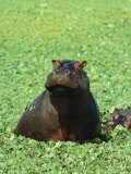 Hippopotamus Surfaces From a Pond Filled with Aquatic Plants
