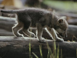 Six-Week-Old Gray Wolf Pup  Canis Lupus  Walks on a Fallen Log
