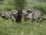 Group of Gray Wolves  Canis Lupus  Mill About in a Mountain Meadow