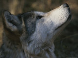 Portrait in Profile of a Gray Wolf  Canis Lupus