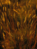 Seed Heads Top Golden Grasses