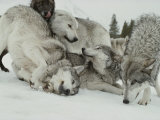 Pack of Gray Wolves  Canis Lupus  Frolic in a Snowy Landscape