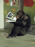 Captive Chimpanzee Looks Through a Magazine
